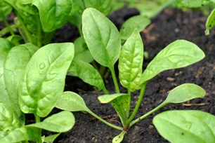 Baby spinach in the garden
