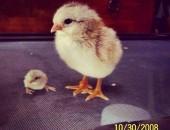 Бебе пиле и трипръстник