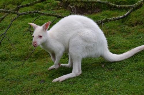 Кенгуру албинос