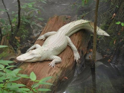 Кроколид албинос