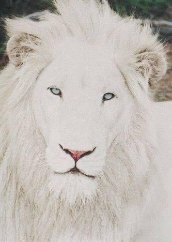 Лъв албинос