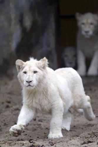 Лъвица албинос