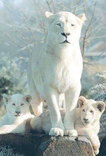 Лъвица албинос с малките си