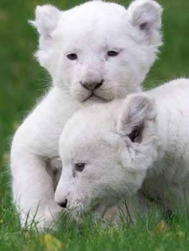 Малки лъвчета албинос