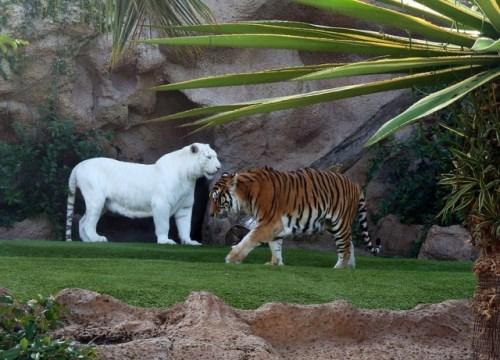 Тигър албинос