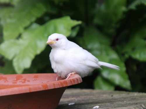 Врабче албинос