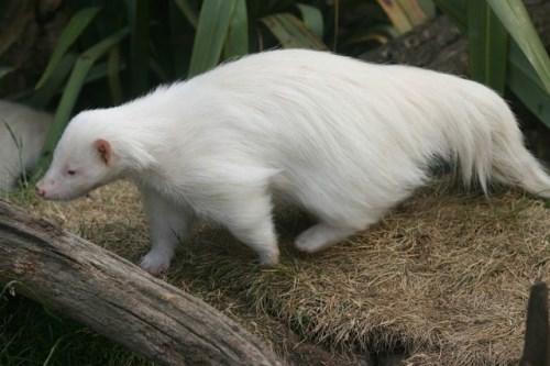 албинос 2