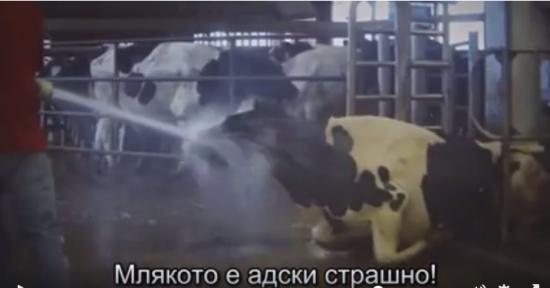 Отношението към кравите във фермите е ужасяващо