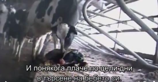 Кравата плаче с дни за теленцето