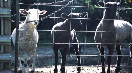 Черна овца грачи