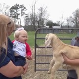 Cute Baby Is A Natural Goat Whisperer