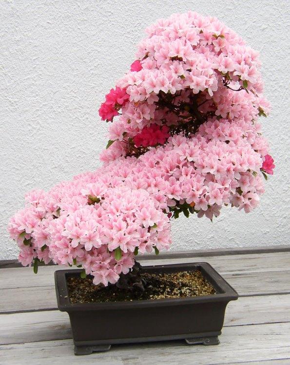 bonsai-trees-1
