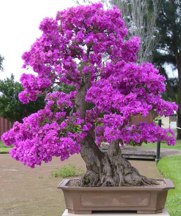 bonsai-trees-10