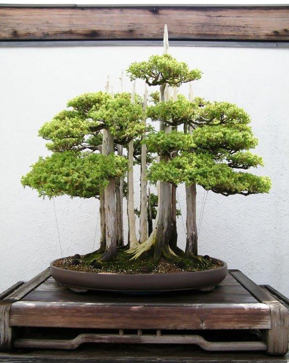 bonsai-trees-13