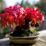 bonsai-trees-14