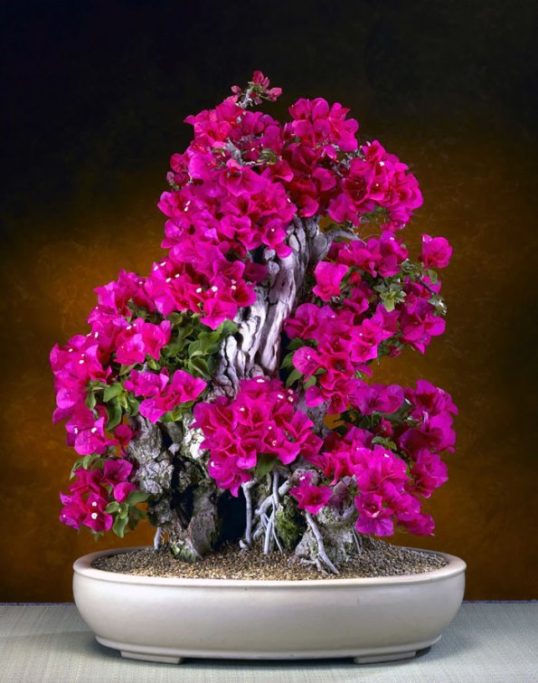 bonsai-trees-16