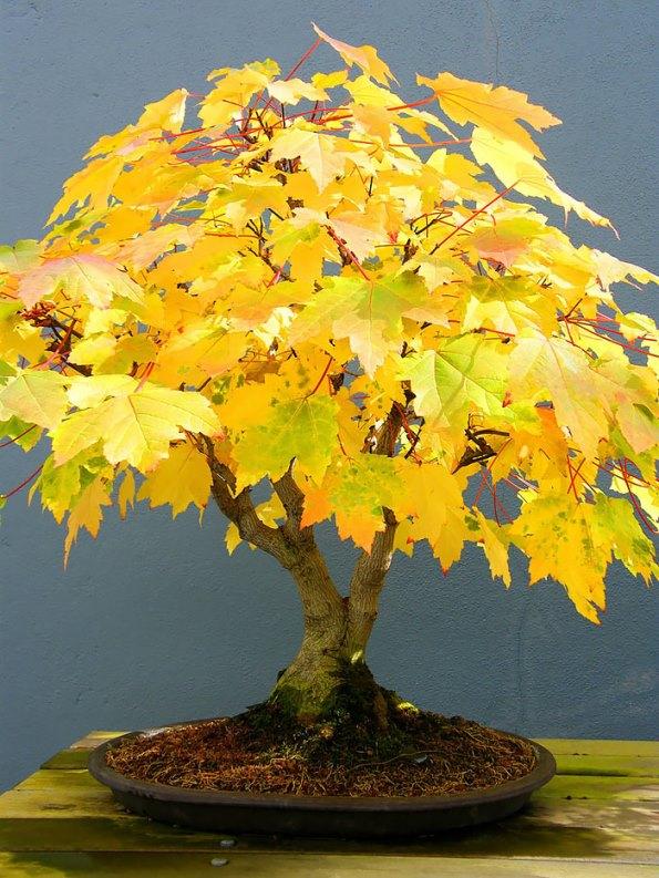 bonsai-trees-18
