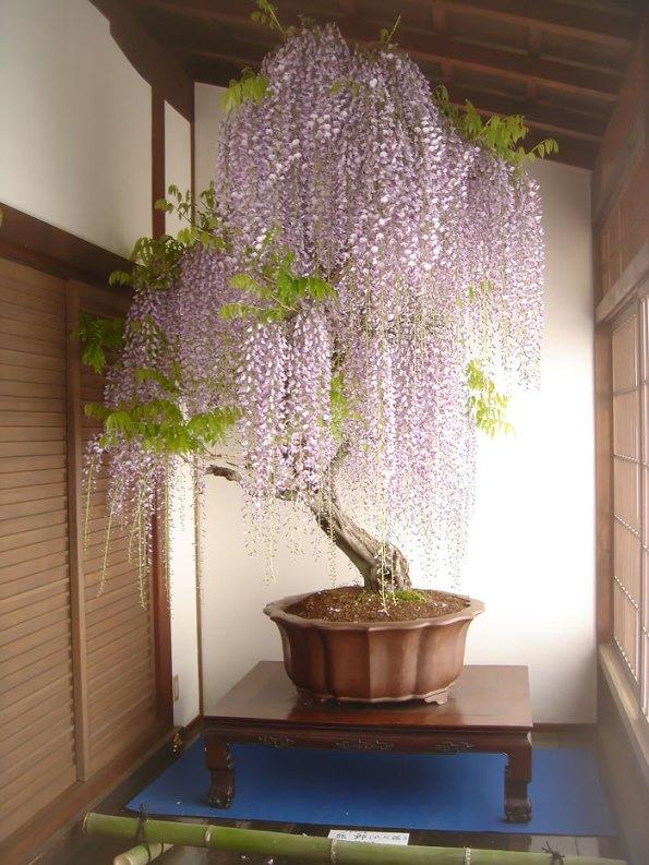 bonsai-trees-2