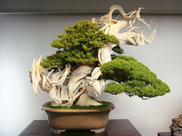bonsai-trees-22