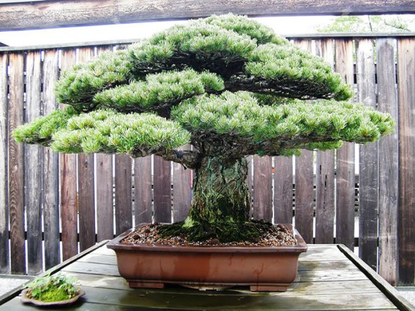 bonsai-trees-23