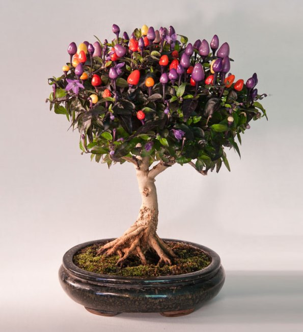 bonsai-trees-25