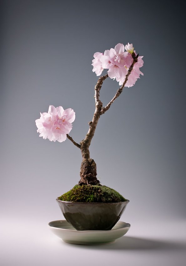 bonsai-trees-3