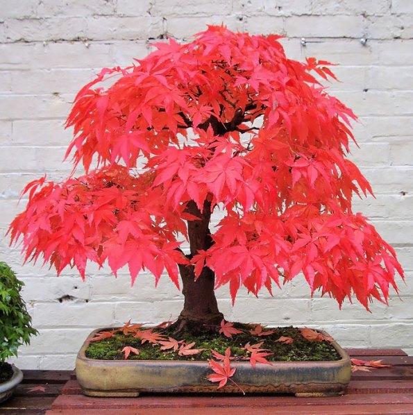 bonsai-trees-4