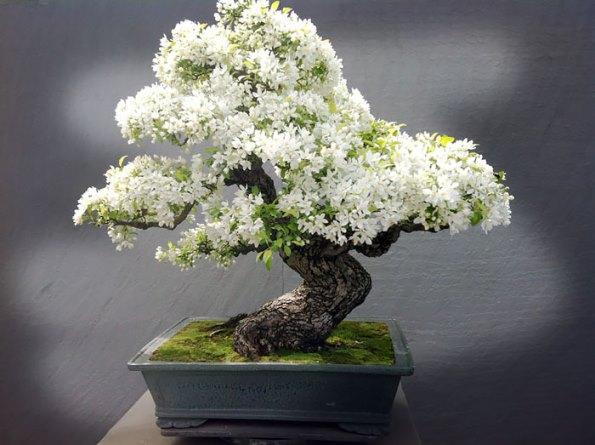bonsai-trees-5