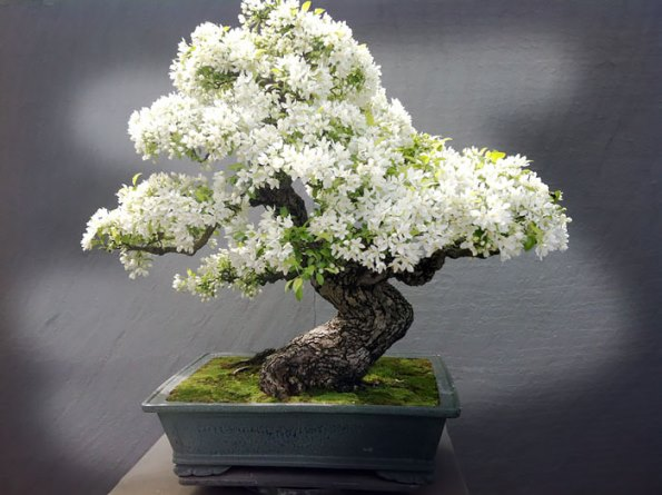 bonsai-trees-5