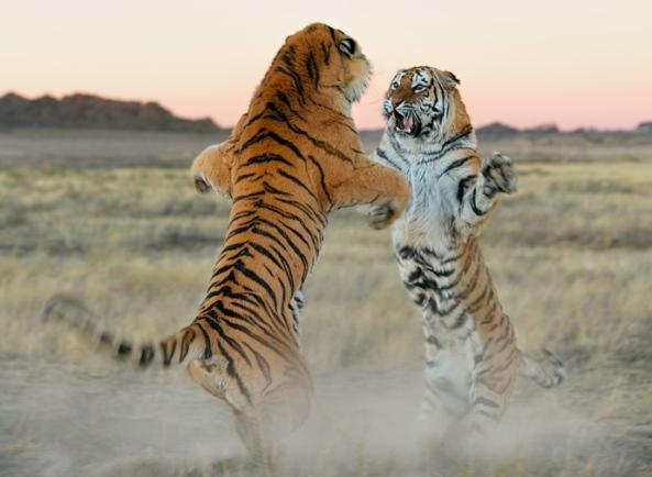 tigri-1