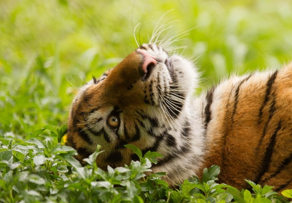 tigri-10