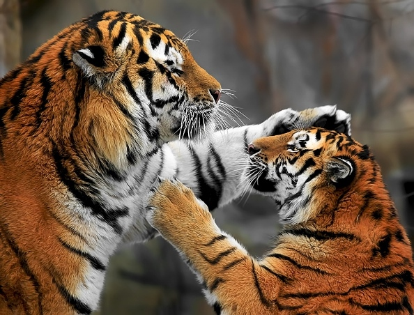 tigri-12
