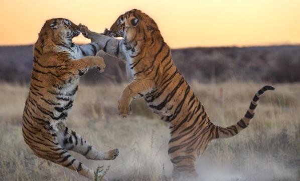 tigri-5