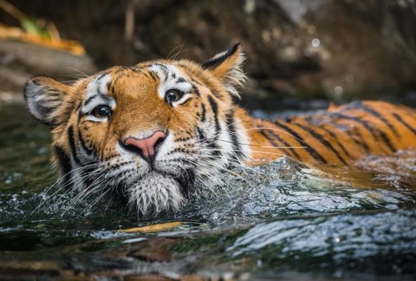 tigri-6