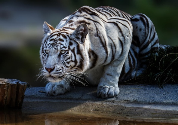 tigri-9