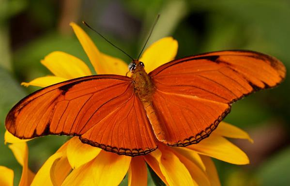 Оранжева пеперуда на жълто цвете