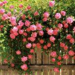 рози градина