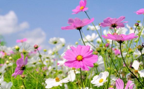 Космос е нежно и красиво цвете