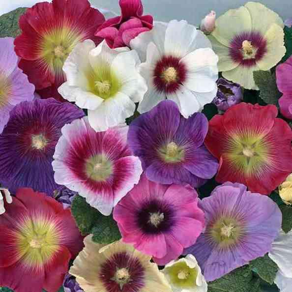 Ружата има прекрасни цветове