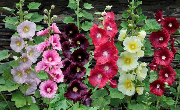 Красиви разноцветни ружи