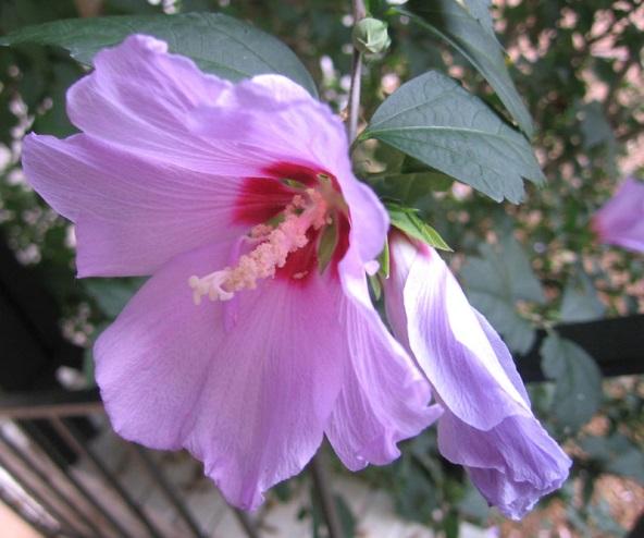 Ружа бледо лилава