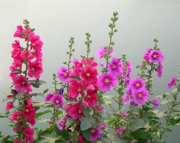 Ружата е устойчиво на суша цвете