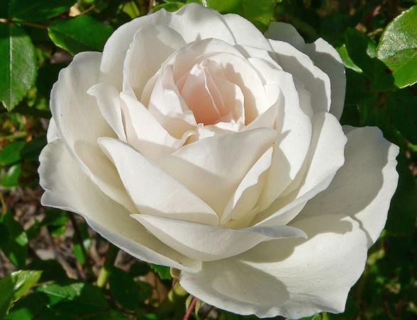 Полиантова роза Айсберг