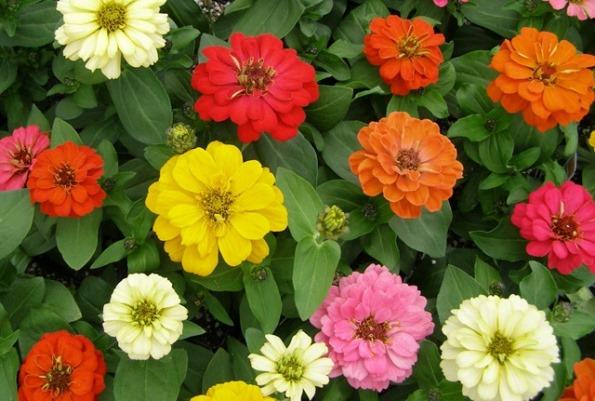 Различни цветове циния