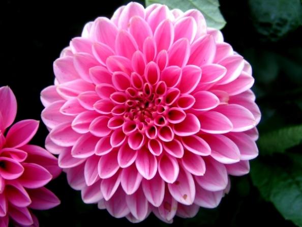 Нежна розова далия