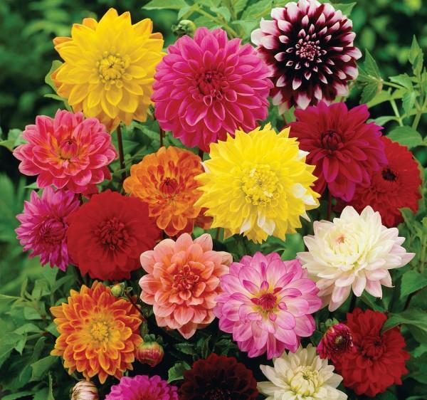 Различни цветове далия