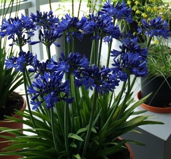 Агапантус със сини цветове