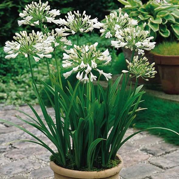 Красив бял агапантус