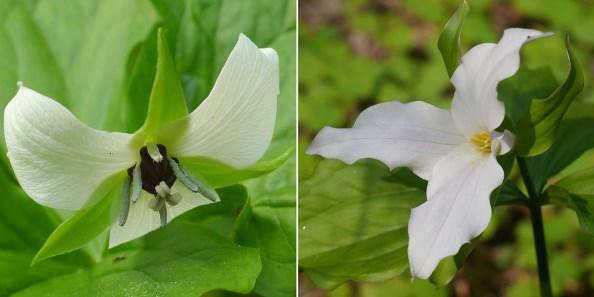 Тrillium erectum и Т. grandiflorum